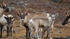 Les rennes du Canada sont-ils en voie de disparition?