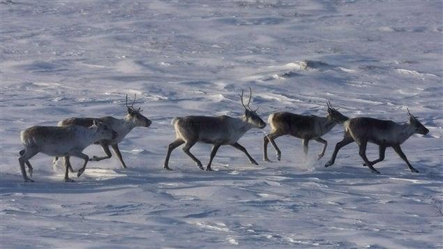 Caribou in Canada's Arctic.