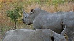 Des rhinoc�ros du parc national Kruger