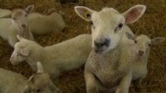 Près de mille deux cent cinquante éleveurs produisent des agneaux de boucherie au Québec en 2013.