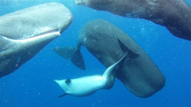 Cette photo montre le dauphin handicapé qui a été accepté par le groupe de cachalots.