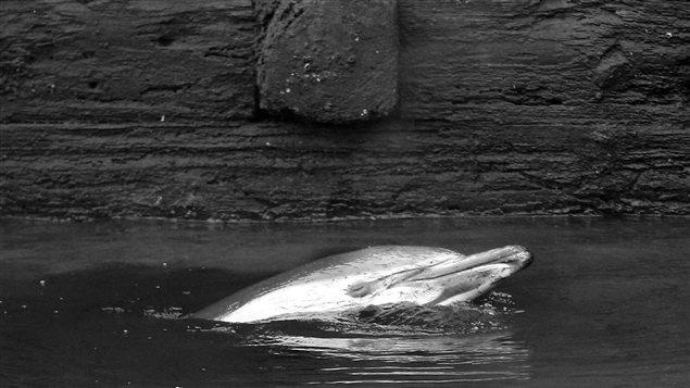 Un dauphin commun s'est retrouvé pris dans le canal Gowanus, à Brooklyn