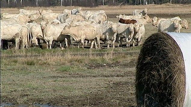 Un troupeau dans une ferme au Témiscamingue