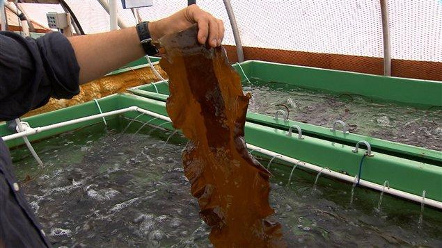 Les laminaires sont des algues aux multiples usages dont certaines croissent de deux à trois centimètres par jour au printemps.