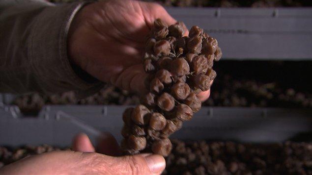 Les raisins qui servent à produire le vin de paille sont séchés pendant plusieurs mois mais ne doivent en aucun cas pourrir.