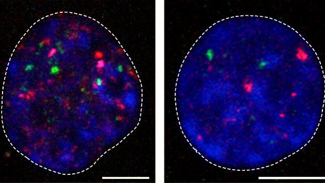 Embryons aux stades 2 (en haut) et 8 cellules (en bas). En rose et vert les rétrotransposons qui sont activés