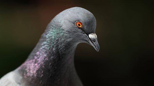 Un pigeon