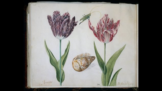 <b>Deux tulipes illustr�es par Jacob Marrel au 17e si�cle</b> | Rijksmuseum, Amsterdam