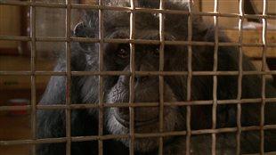 Un refuge pour primates éclopés à Carignan