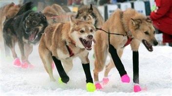 Les chiens de l'attelage de Jake Berkowitz au Yukon Quest en 2012.