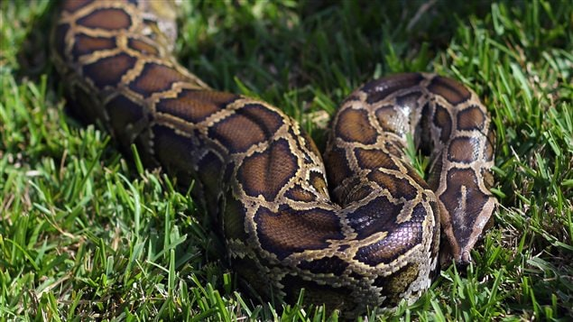 AFP_130217_7n4na_python-birman_sn635