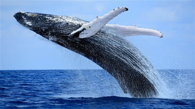 humpback whale jumps out of the water