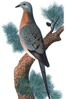 Artist rendering of a passenger pigeon. Once numbering in the many millions, the last one died in 1914