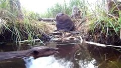 Beaver adult swims near one of her kits taken from a live camera near a beaver lodge