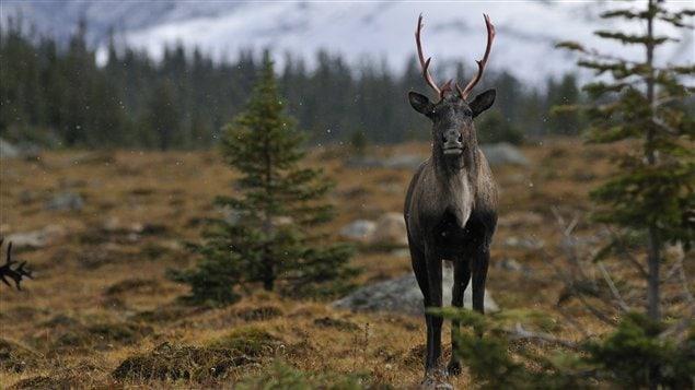 Un caribou des bois