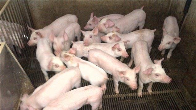 Des porcs
