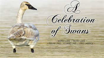 L'affiche du festival A Celebration of Swans au Yukon