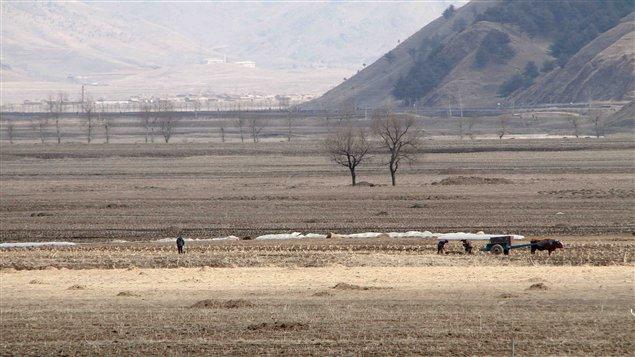 Des paysans nord-coréens se servant d'un bœuf comme bête de somme