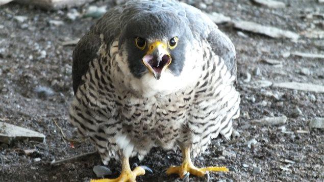 Les oeufs du couple de faucons vivant sous le pont Champlain ont été retirés, et remplacés par de faux oeufs, pour ne pas perturber les rapaces.