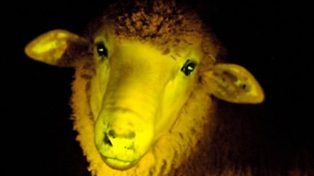 Un mouton fluorescent