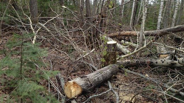 Une centaine d'arbres ont été abattus illégalement dans le secteur du Belvédère à Val-d'Or