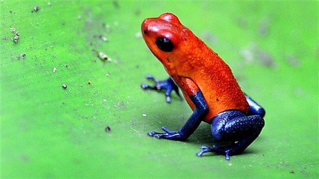 Grenouille Costa Rica la grenouille qui voulait se faire aussi belle que l'été | c'est