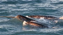 Un trafiquant de défenses de narval plaide coupable à dix accusations aux États-Unis