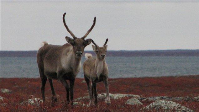 Femelle caribou et son faon dans le nord du Canada