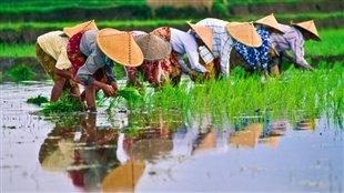 De la rizière au riz
