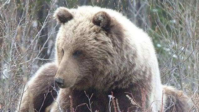 Ours grizzly au Yukon