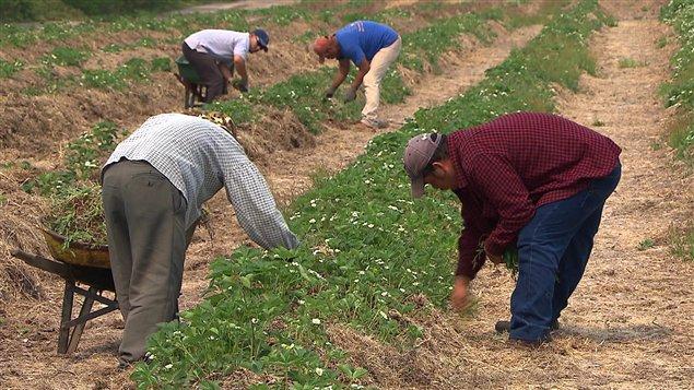 Travailleurs agricoles mexicains sur la Côte-Nord