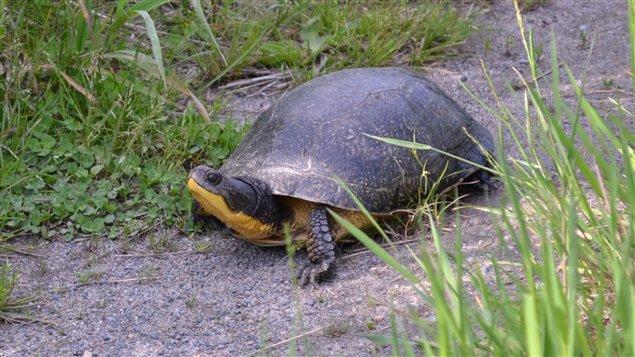 Une tortue mouchetée