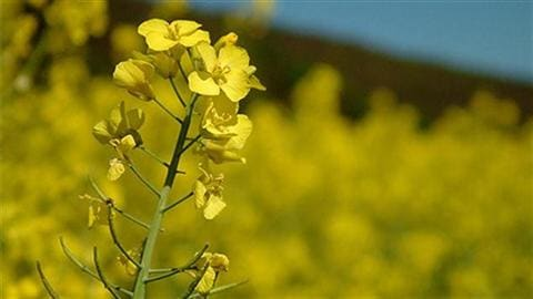 Plant de canola (archives)
