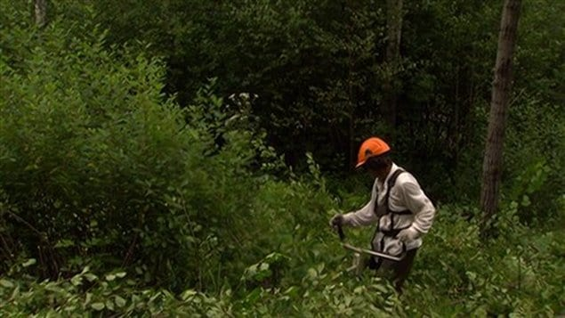 La coupe des tiges de nerprun ne peut suffire à assurer l'éradication de l'espèce.