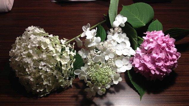 Les hydrangées sont parmi les plantes les plus populaires dans les jardins québécois.