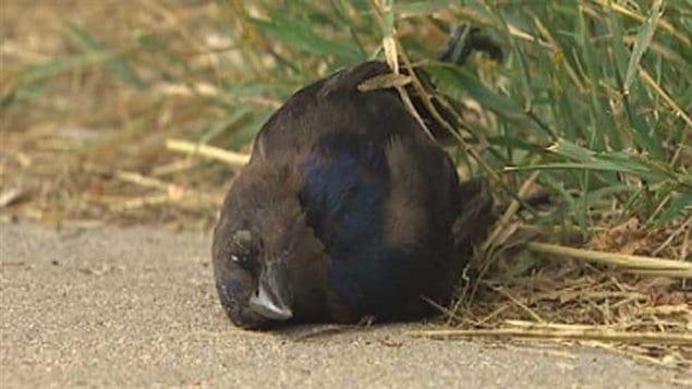 Un des oiseaux morts dans le quartier North End.