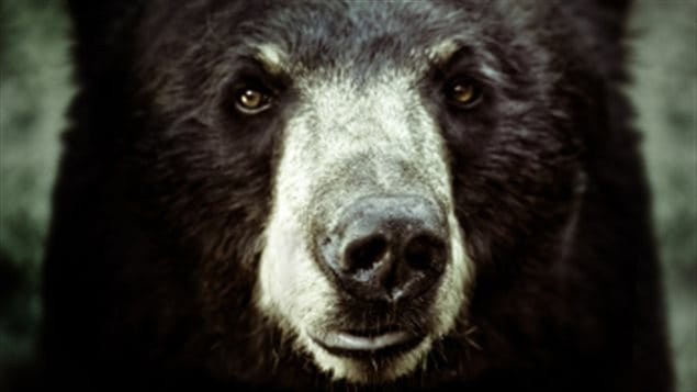 Un ours noir sintroduit dans une cuisine et nettoie les for Art et cuisine casseroles
