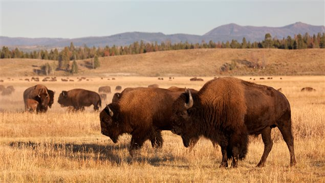 Bisons | �iStockphoto