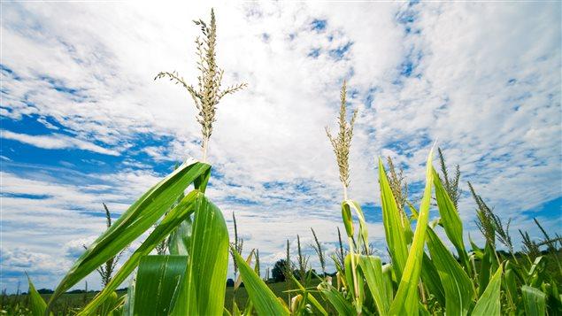 Champ de blé d'inde - épis de maïs au Canada