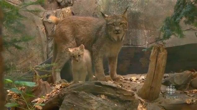 Lynx Babies Debut