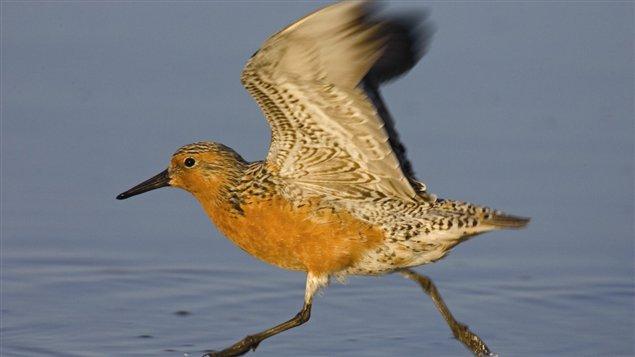 Crédit: Arthur Morris/BIRDS AS ART
