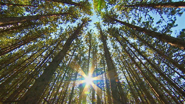 Forêt canadienne