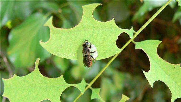 Megachile rotundata, ou « Abeille découpeuse », se livrant à son activité favorite sur un acacia. Crédit: Jodelet / Lépinay