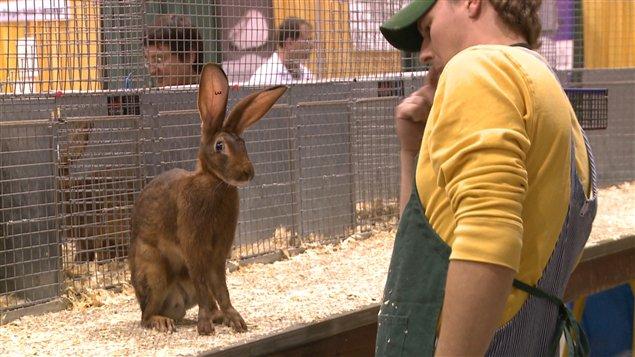 Le lièvre belge, qui malgré son nom n'a que l'apparence d'un lièvre, était représenté parmi les races de lapins exhibées en 2012 au congrès de l'American Rabbit Breeders Association.