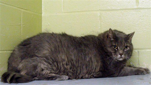 Un chat obèse suit une diète sévère et un programme d'exercices dans une SPCA du Nouveau-Brunswick