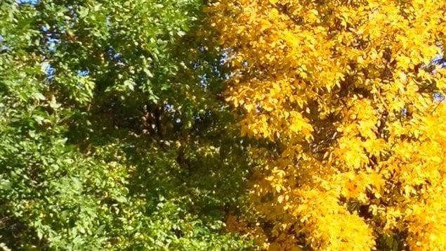 Les feuilles vertes des arbres côtoient beaucoup plus cette année les feuilles jaunies par l'automne.
