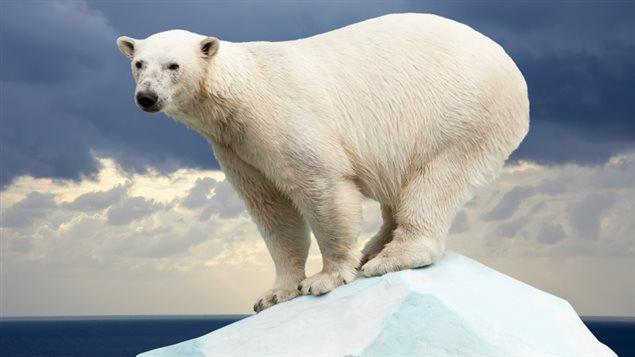 C'est donc au tour des pénis d'ours dans le Grand Nord canadien d'être menacé par la pollution humaine.