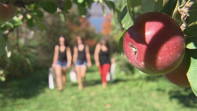 On espère planter la super pomme modifiée « Arctique » dès le printemps prochain sur la côte ouet du Canada. La première récolte est prévue à l'automne 2015.