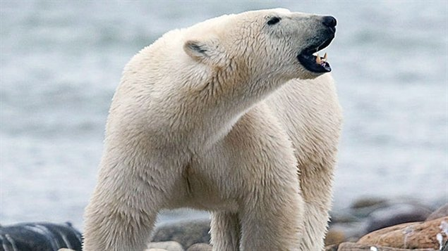 Polar Bears- annual migration at Hudson bay, online