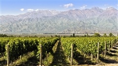 Vignoble au pied de la Cordillère des Andes